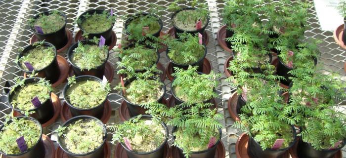 Abbildung 2: Pflanzen gewachsen in P-freien Sand. Links: Nur Symbiont; Mitte: Nur ABC; rechts: Mit Symbiont und ABC (P-Brücke).