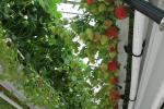 Production of strawberries in substrate; Dutch systems under glass